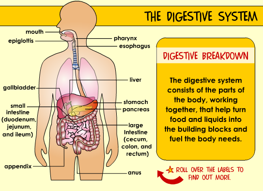 digestive system parts